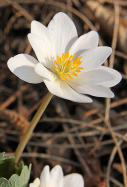Bloodroot for gardens should not be collected from the wild.