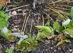 Bloodroot leaves decline as the plant goes dormant.