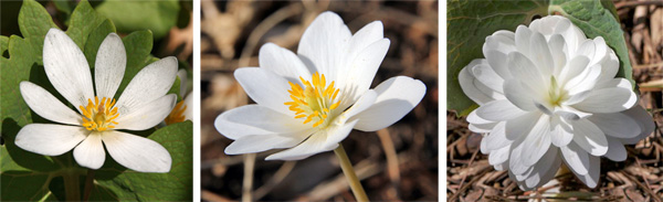 Bloodroot flowers are variable, usually with 8 petals (L). Some flowers may have 12-16 petals (C), while double forms, such as Multiplex (R) have modified stamens that look like petals.