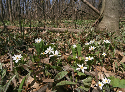 Bloodroot and trout lilies in a woodland in southern Wisconsin.