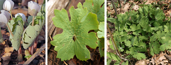 The leaves are wrapped around the flower stem when they first emerge (L), and unfurls as the plants bloom (C) to reach their full size after flowering (R).