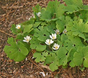 Bloodroot in late bloom.