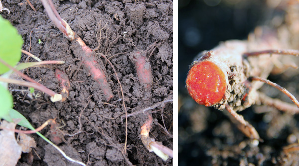 Sap (R) from the red to orange-colored rhizomes (L) gives rise to the common name of bloodroot.