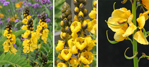 The flowers open from the bottom of the spike upward (L), with the dark buds opening to reveal butter yellow petals (C) and the seed pods developing before the petals fall (R).