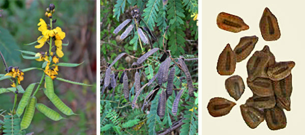 Popcorn cassia produces typical legume-type pods (L and C) with small brown seeds inside (R).