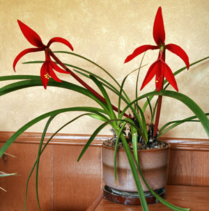 Aztec lily can be grown as a houseplant in cold climates.