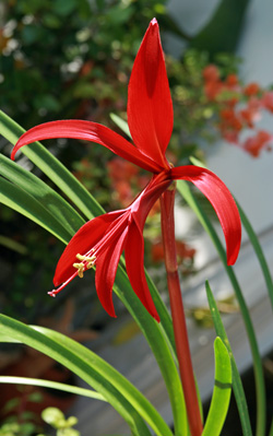 Aztec lily flower.
