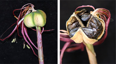 Seedpod (L) and seeds in pod (R).