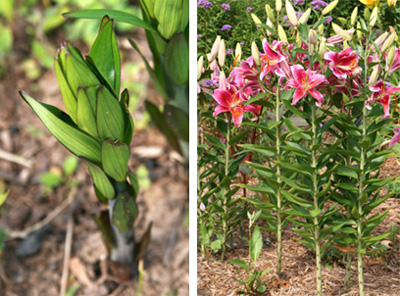 Bulbs produce strong new stems each spring (L) that rarely need staking (R).