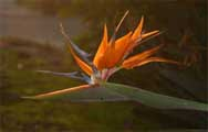 A bird of paradise flower at dusk.