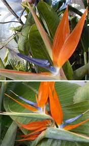 Top: the two blue petals form the nectary. Bottom: a secondary spathe produced from the primary spathe.