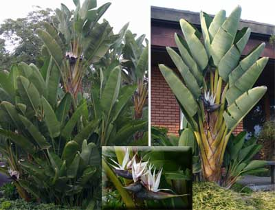 Bird Of Paradise Strelitzia Reginae Master Gardener Program