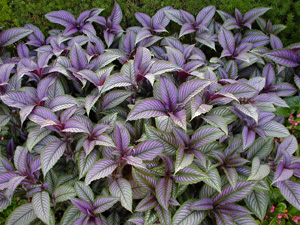 A mass planting of Strobilanthes dyerianus.