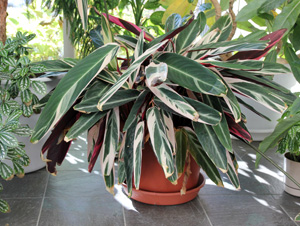 Tricolor makes a dramatic container specimen for indoors or outdoors during warmer weather.