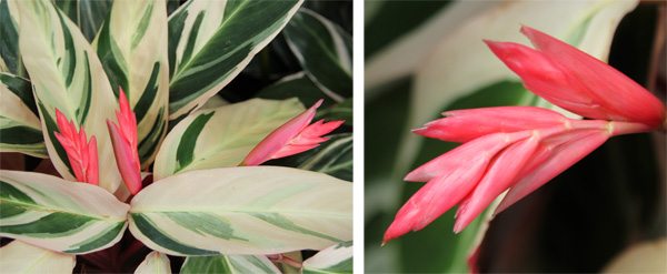 The colorful red-orange flowers (really bracts surrounding the pink flowers) are rarely produced when grown as a houseplant or seasonal annual.