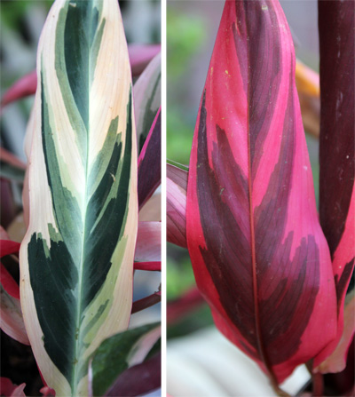 Both the upper (L) and lower (R) leaf surfaces are quite colorful.