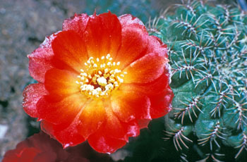 Rebutia caniguerallii has long been placed in the genus Sulcorebutia.