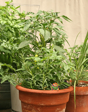 Peppers can be grown in containers (in the back of this photo).