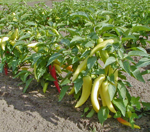 Peppers are an important crop in many countries, including the U.S.