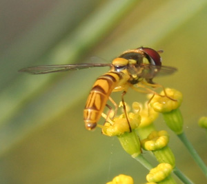 Hoverflies are attracted to flowers as adult, but feed on aphids as larvae.