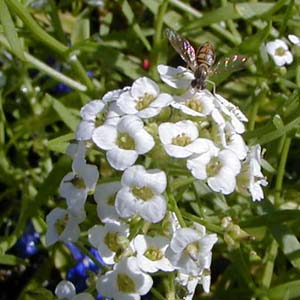 Sweet alyssum is a good nectar plant.