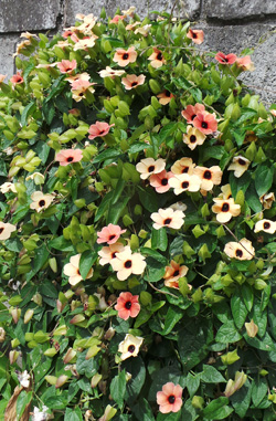 There are many different.cultivars available.