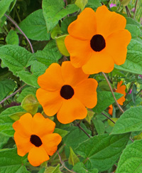 Black-eyed Susan vine is most often propagated from seed.
