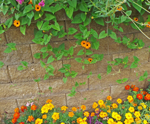 This vine will cascade down walls or from hanging baskets in addition to climbing.