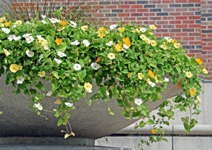 White, orange and yellow Thunbergia alata in a large container.