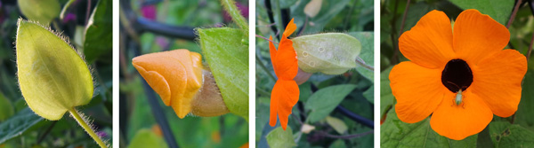 Showy flowers (RC, from side and R from front) emerge (LC) from hairy bracts (L).
