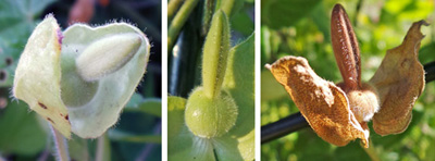 Pollinated flowers develop a fruit (LC) enclosed in the green bracts (L), which ripens and dries (RC) to a tan color.