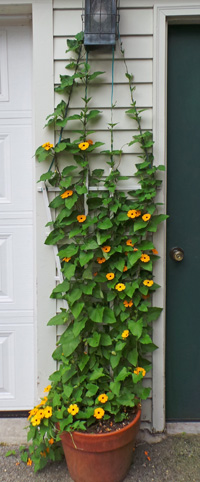 The vine will quickly fill narrow vertical spaces with color.