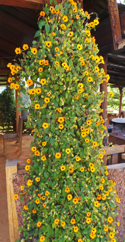 Thunbergia alata is a fast-growing, free-flowering vine.
