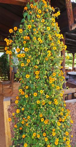 Black Eyed Susan Vine Thunbergia Alata Master Gardener
