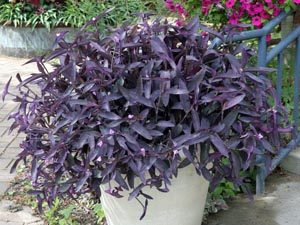 Purple heart makes a good container plant.