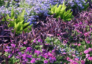 Purple heart combined with asparagus fern, pink verbena and other flowers.
