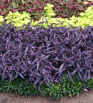 Purple heart tradescantia pallida master gardener program - Wandering jew plant name ...