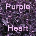 Purple Heart, Tradescantia pallida Title Image