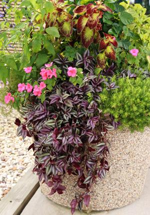 tradescantia zebrina master gardener program. Black Bedroom Furniture Sets. Home Design Ideas