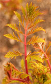 New foliage is chartreuse with reddish veins.