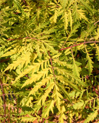 The deeply cut foliage remains a bright yellow all summer.