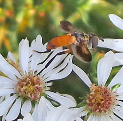 The adult flies feed on nectar.