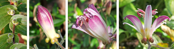 The flowers are produced singly or in small groups in the leaf axils (L). The buds (LC) open gradually (C), and the prominent pouch-like nectaries are very visible at the base of the tepals (R).