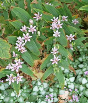 Toad lilies have few pest problems, although rabbits may eat them.