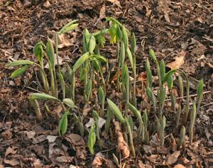 Bellwort emerging in spring.