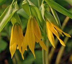 Pendant flowers of Uvularia grandiflora.