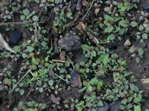 Verbena bonairiensis seedlings.