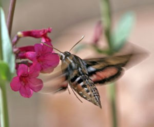Adult white-lined sphinx moths are often seen feeding at flowers