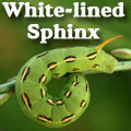White-lined Sphinx Moth, Hyles lineata Title Image