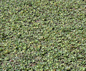 Water lettuce covering a small pond in eastern Brazil.
